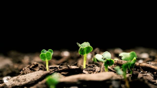 vídeos de stock, filmes e b-roll de semente crescendo macro de fundo preto de lapso de tempo - preservação ambiental