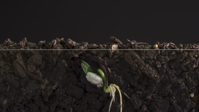 Seed Growing Time Lapse With Roots Underground View