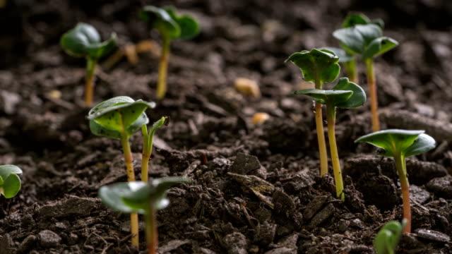 シード時間の経過と庭やファームの野菜の発芽 - 苗点の映像素材/bロール