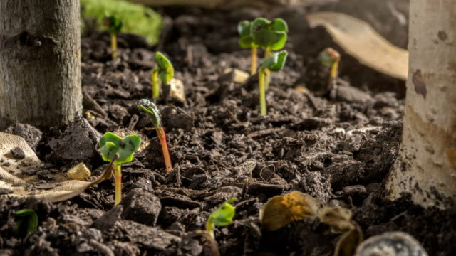 seed time lapse germination and growth - muschio flora video stock e b–roll