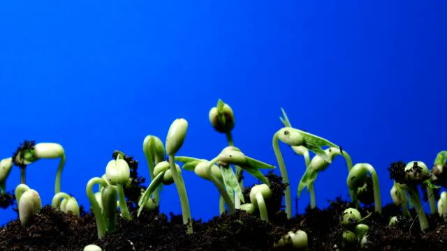 fröplanta blå skärm bakgrund tid lapse.chroma nyckel dci4k - böngrodd bildbanksvideor och videomaterial från bakom kulisserna