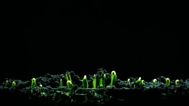 Seedling growing time lapse blackground video