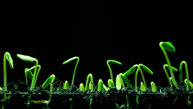 seedling growing time lapse - kwiat roślina filmów i materiałów b-roll
