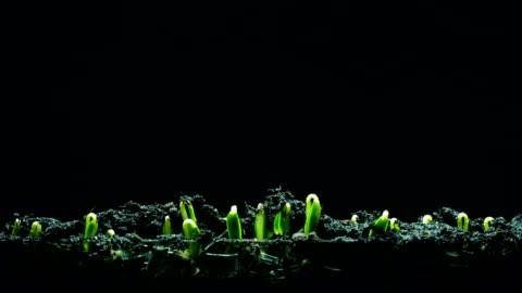 vídeos de stock e filmes b-roll de seedling time lapse 4k black background - crescimento
