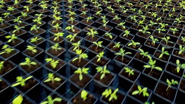 Bидео Seedlings growing in greenhouse