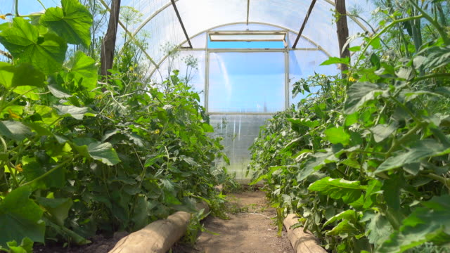 seedlings of cucumbers and tomatoes bloom in a bright spacious greenhouse in an eco-friendly environment - cetriolo video stock e b–roll