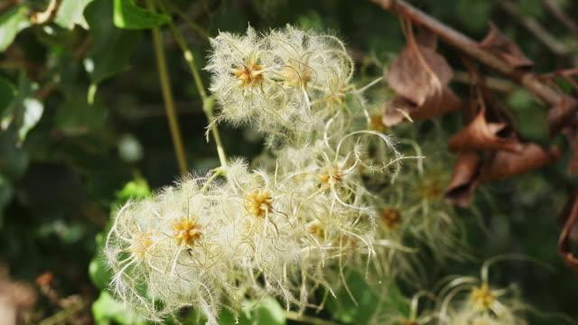 seeds of clematis plant - powojnik pnący filmów i materiałów b-roll