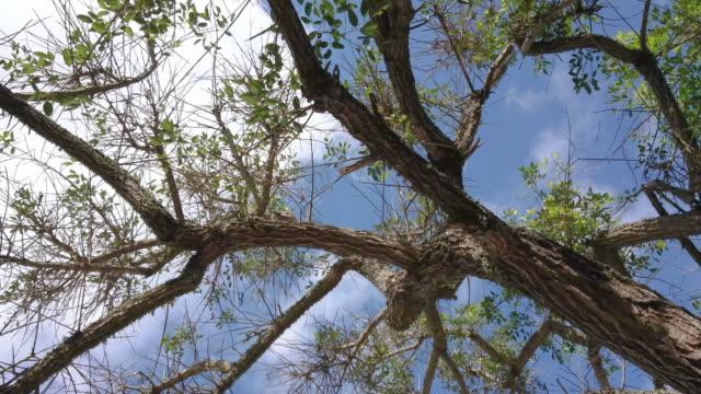 Seibo árbol nacional de argentina de blanco y azul cielo - vídeo