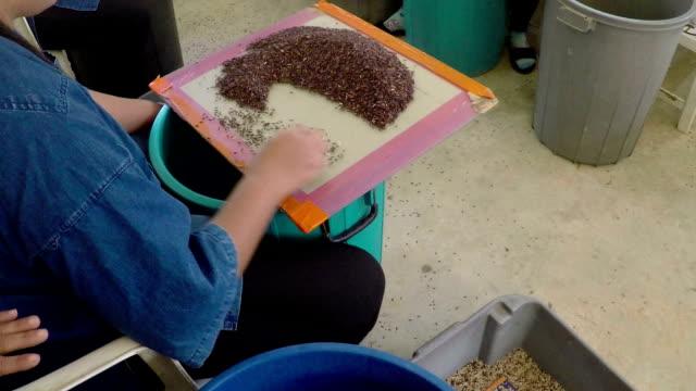 selezione di paddy a grana di riso - full hd format video stock e b–roll