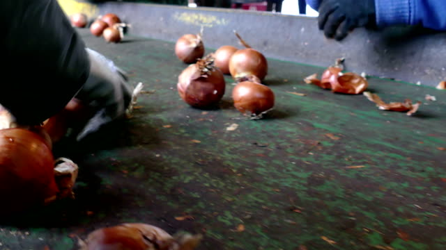 Selection of Fresh Red Onions for Sale Workers on the conveyor belt select  of the domestic red onion red onions stock videos & royalty-free footage
