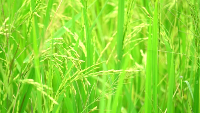 Selective focus of fresh rice in rice field with wind flow nature view background. video