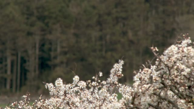 Selective focus of Hawthorn flowers in full bloom on a hedge and woodland