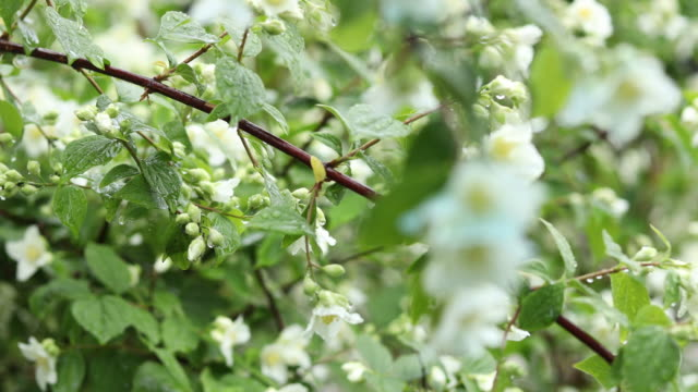 Selective focus scene by rain drops on branch beautiful white blooming Jasmine, buds, Philadelphus flowers video