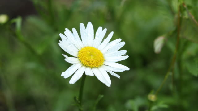 Selective focus scene by rain drops on branch beautiful white blooming chamomile in the garden video