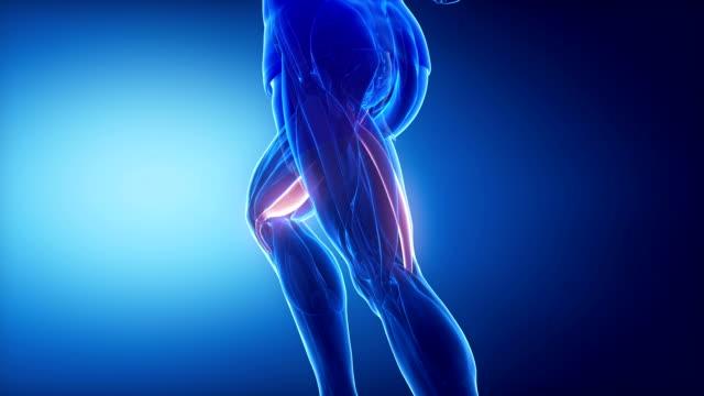 semitendinosus - leg muscles anatomy anaimation Muscles anatomy concept limb body part stock videos & royalty-free footage