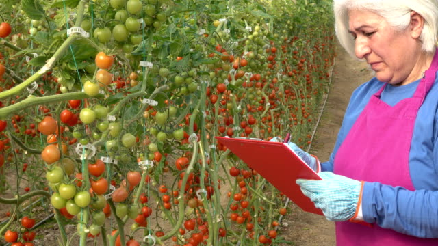 Senior Adult Woman Working In Modern Tomato Greenhouse video