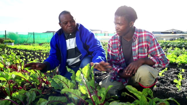 Senior African mentor discusses crops with young apprentice organic farmers video