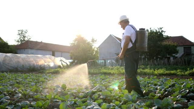 vidéos et rushes de senior agriculturist, épandage de pesticides sur la plantation de légume - herbicide