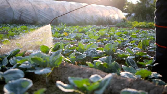 senior agriculturist spraying pesticides on vegetable plantation - insetticida video stock e b–roll