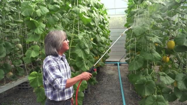 彼の農場で上級農業学者の水やりカンタルーペの木 - ローフード点の映像素材/bロール