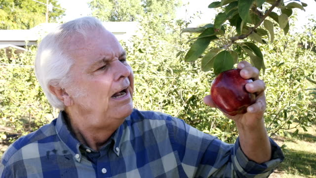 Senior Caucasian male picks red apple from tree in apple orchard video