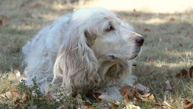 Senior cocker spaniel dog laying in park