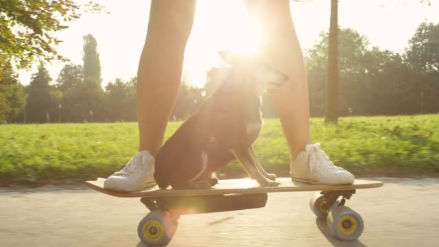 CLOSE UP: Senior dog sitting on longboard as its owner speeds through the park. CLOSE UP, SUN FLARE: Senior miniature pinscher dog sitting on a longboard as its owner speeds through the sunlit park. Adorable puppy calmly cruising on the skateboard with its cool female owner. skateboarding stock videos & royalty-free footage