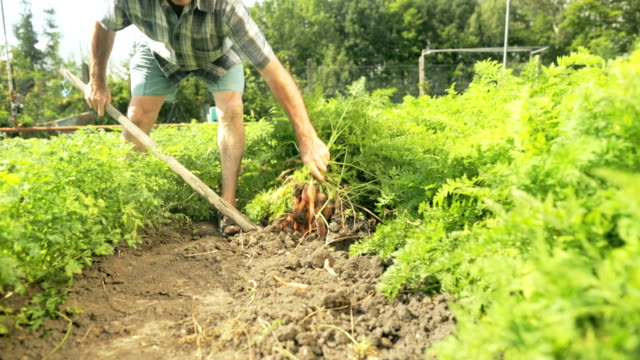 senior farmer harvesting carrots video