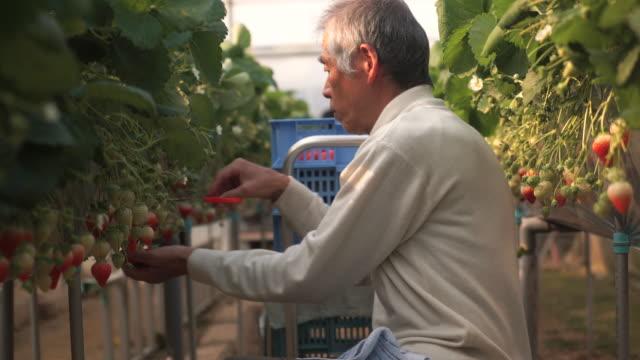シニア農家の収穫、ストロベリー ビデオ