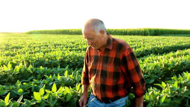 Senior farmer in a field examining crop Senior farmer in a field examining crop. rancher stock videos & royalty-free footage