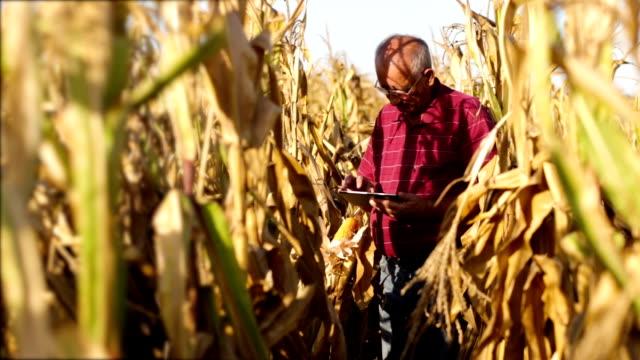Senior farmer in corn field. video