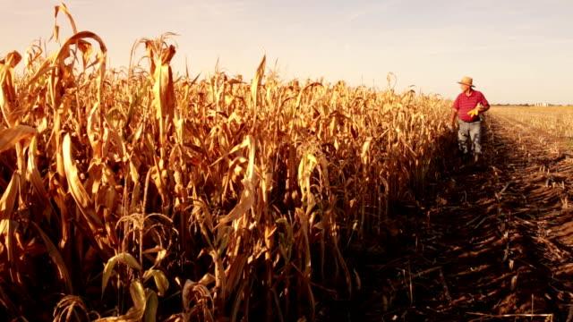 Senior farmer in corn field video