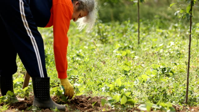 Senior female farmer hoeing weeds while working in the field