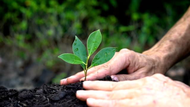 Mano mayor crecimiento, asegurando un brote del árbol joven. - vídeo