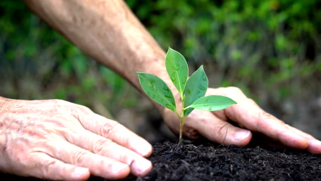 senior hand growing, caring a young tree sprout. - sustainability video stock e b–roll