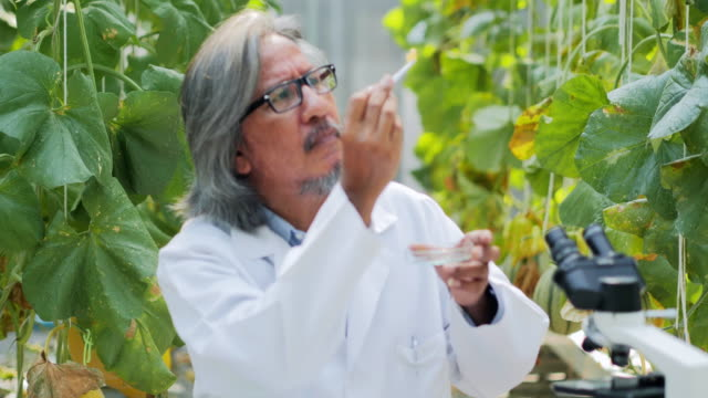 Senior man agronomist in white coat working supervising seedling's growth in greenhouse. Plant care and protection concept.Industry 4.0