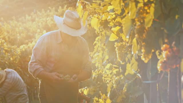 Senior man harvesting grapes by hand at sunset video