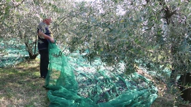 senior man holding net with harvested olives - netzgewebe stock-videos und b-roll-filmmaterial