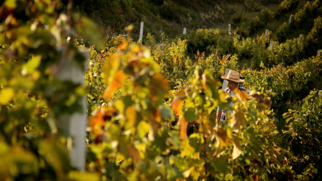 senior man in vineyard at sunset - azienda vinivola video stock e b–roll