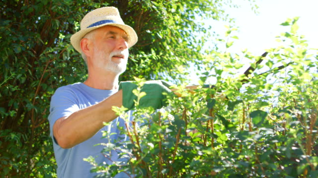 Senior man trimming hedge with a pair of gardening shears Senior man trimming up hedge with a pair of gardening shears on a sunny day horticulture stock videos & royalty-free footage