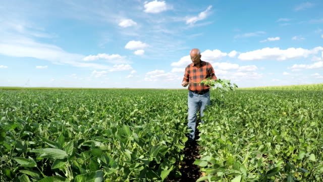 Senior man walking in soybean field and examining crop. video