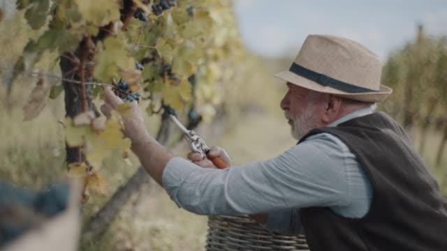 vídeos de stock e filmes b-roll de senior men cutting red grapes from vines - grapes