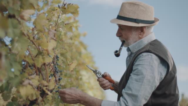 vídeos de stock e filmes b-roll de senior men cutting red grapes from vines - uva shiraz