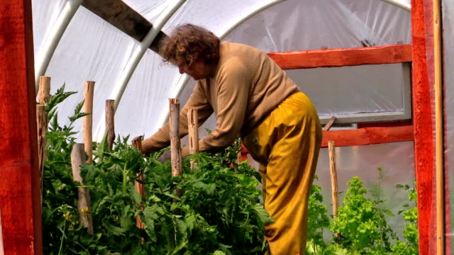 Senior woman in yellow trousers prune tomato plants in hothouse video