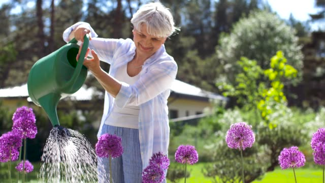 senior woman watering flowers at summer garden gardening and people concept - happy senior woman watering allium flowers at summer garden watering stock videos & royalty-free footage