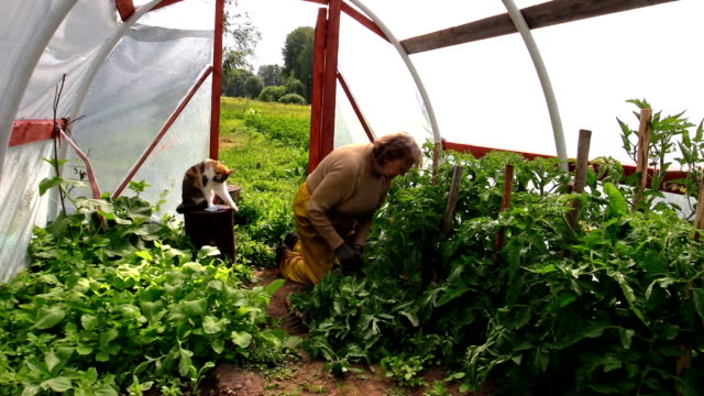 senior woman weed tomato plants in hothouse and cat pet video