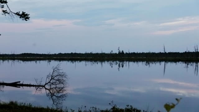 Separate dry trees on the shore of a forest lake in the late evening The Siberian tundra. Separate dry trees on the shore of a forest lake in the late evening,Panoramic shot from left to right duckweed stock videos & royalty-free footage