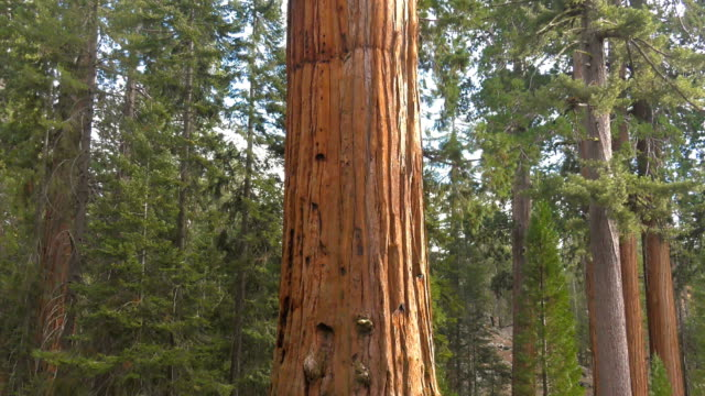 Sequoia giant tree Sequoia giant tree in the forest forest national landmark stock videos & royalty-free footage