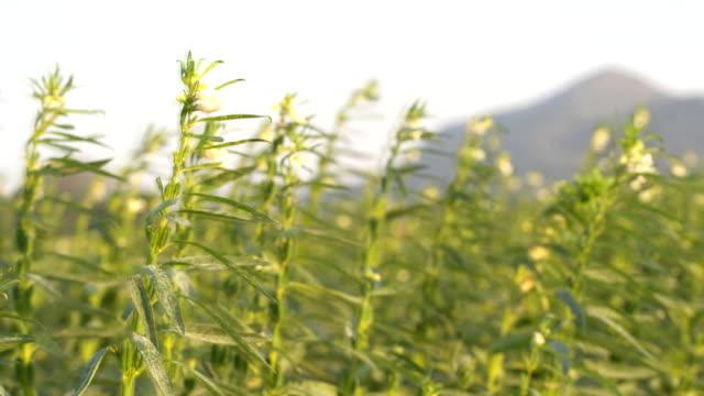 sesame seed flower on tree in the field, - sesamo video stock e b–roll