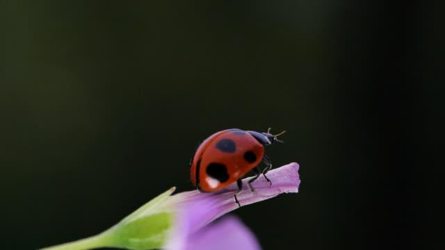 Seven spot ladybird.